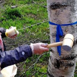 Henkilö ymppäämässä pakurikääpää koivuun puuvasaran kanssa.