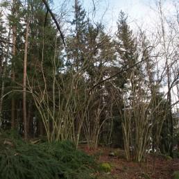 Turun Hirvensalossa sijaitsevassa suojellussa Maunulan pähkipensaslehdossa tehtiin varjostavn puuston raivaustöitä maaliskuussa 2021. Alueelta kaadettiin erityisesti kookkaita kuusia. Kuva: Jarkko Leka