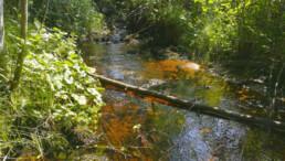 Luonnontilainen puro saaristossa. Purossa puuta, ympärillä kasvustoa, jonka läpi siivilöityy auringonvaloa.