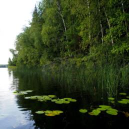 Kuvassa puolipilvinen päivä, kirkasvetisen järven metsäistä rantaa, ulpukoita ja järvikaislaa..